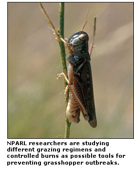 Photograph of a grasshopper.