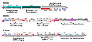 phytoplasma phage image