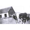 Thumbnail of cattle in yoke