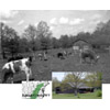 Thumbnail of Anderson cattle grazing in field