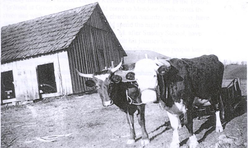 Cattle in yoke
