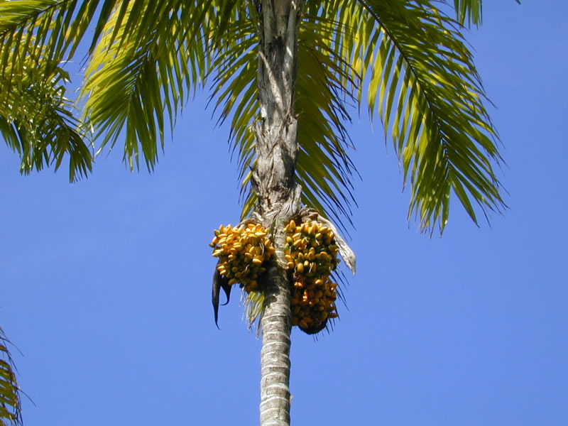 Peach palm tree with fruit bunch