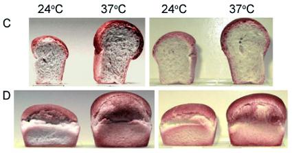 Micro-loaves and Temperature Regimen