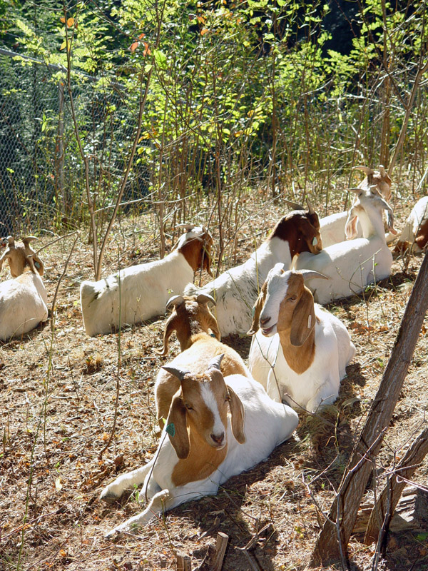 Goats resting on browsed hillside