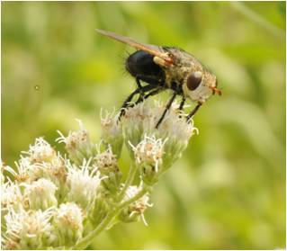 Tachinid fly on white Eupatorium