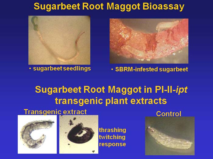 picture of sugarbeet root maggot bioassay