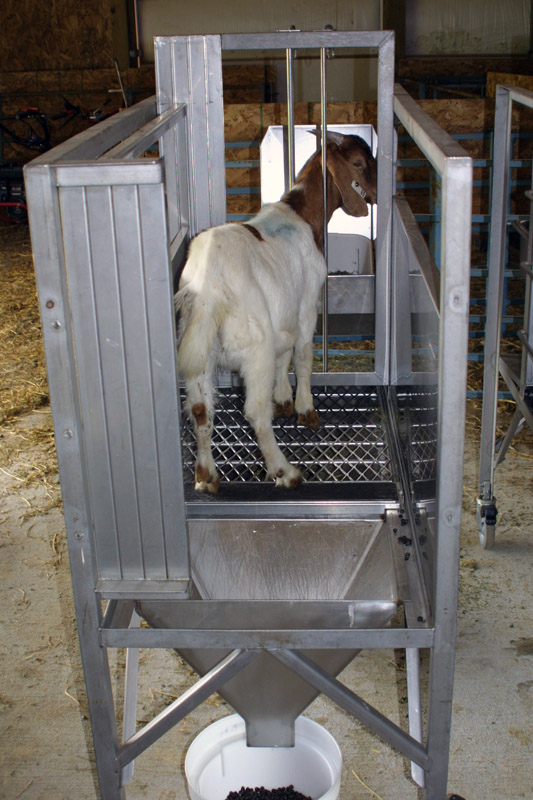 Penned goat
