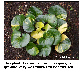 Link to European ginger web page and this is a photo of European ginger doing very well thanks to healthy soil.