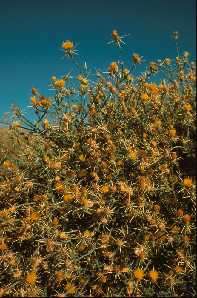 Yellow Starthistle - An example of a Rangeland weed