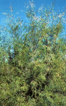 Saltcedar - An example of a Riparian weed