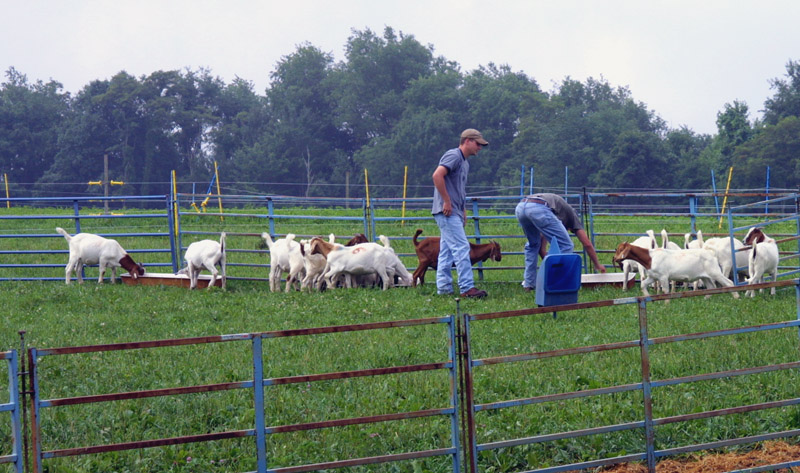 Employees feeding and watering goats