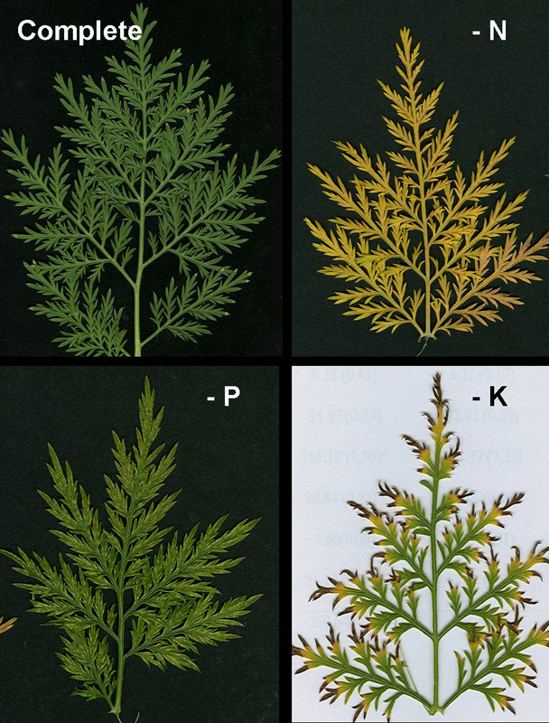 Artemisia plants under stress, effects shown in leaves