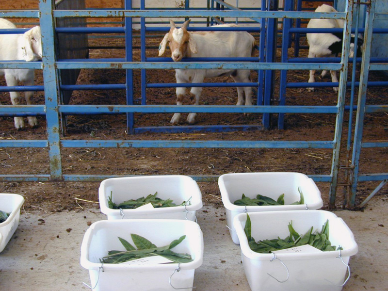 Forage selections ready to be fed to goats