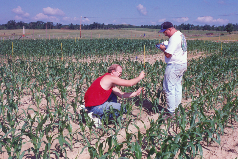 Employees measuring corn