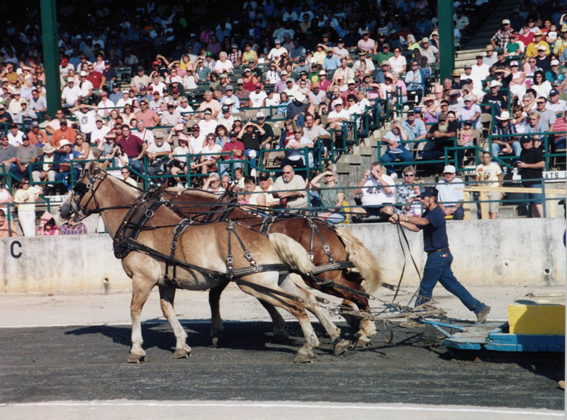 Draft Horses in pulling contest