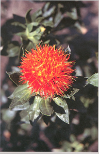 Safflower photo