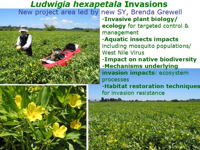 Ludwigia hexapetala invasions
