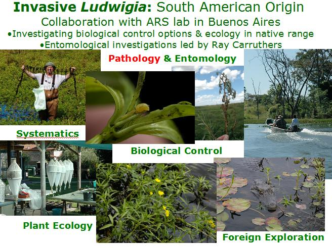 Ludwigia has South American origin