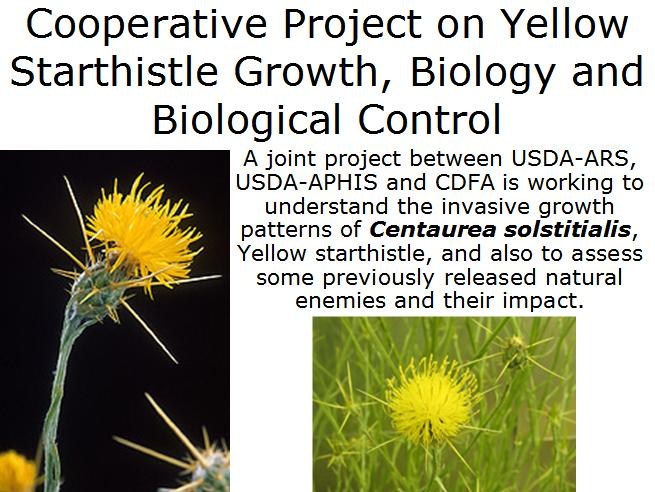 Yellow starthistle project