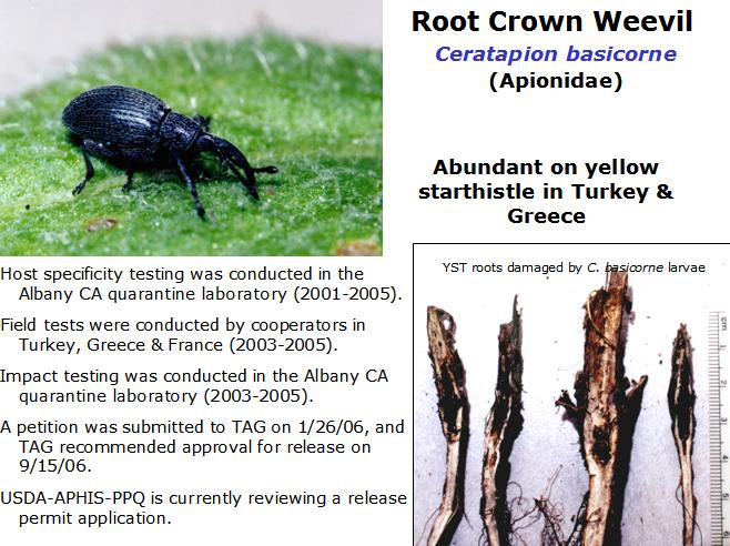 Root Crown Weevil biocontrol