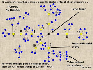 Purple nutsedge diagram
