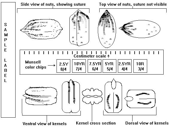 Organization of nut samples for photography