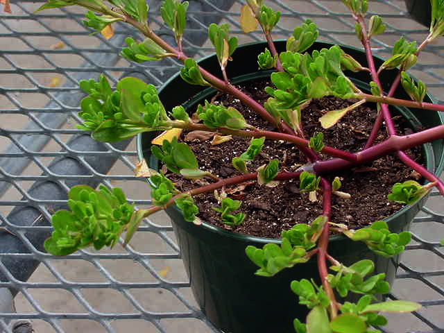 Potted Purslane