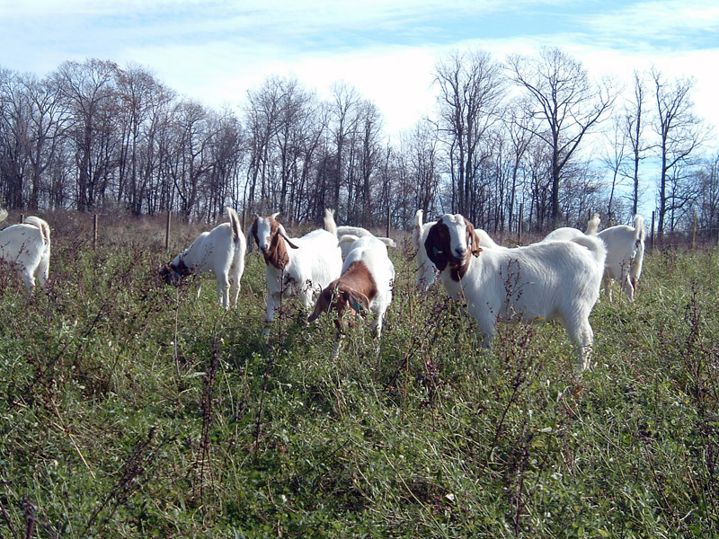 Goats grazing in pasture