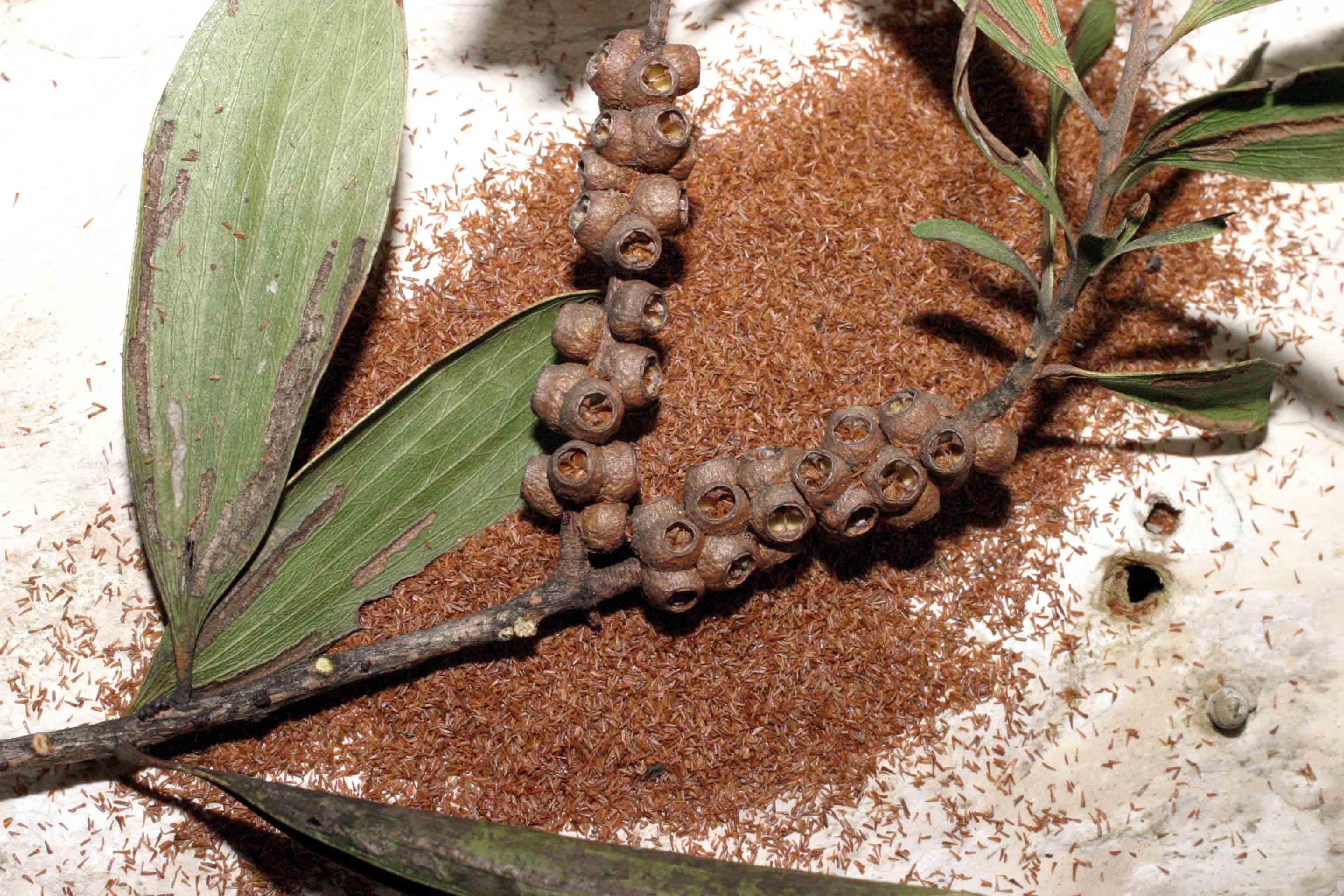 invasive species melaleuca tree essay