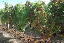 Grapevine leafroll associated virus study