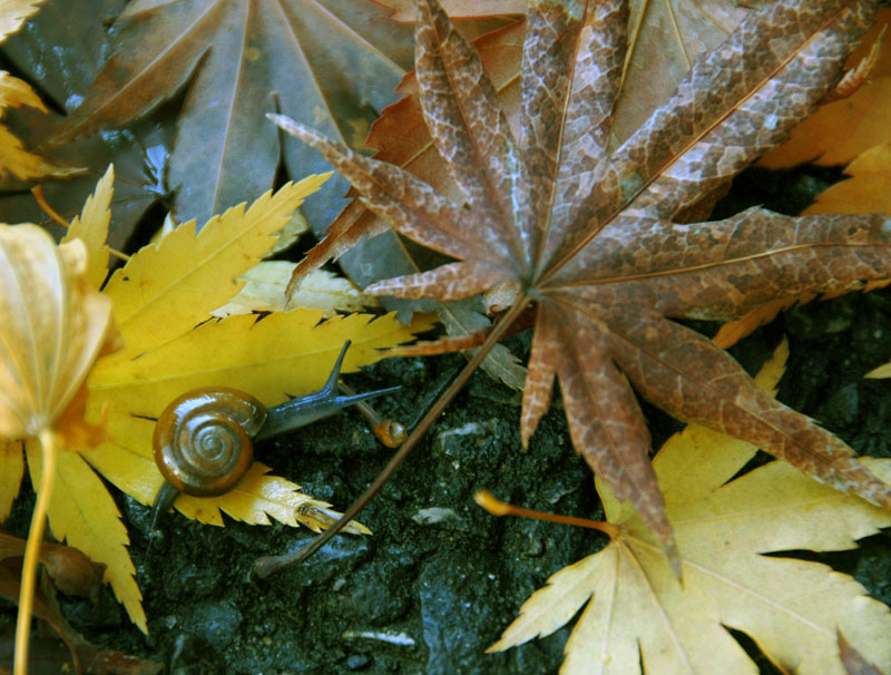 Snail and autumn leaves