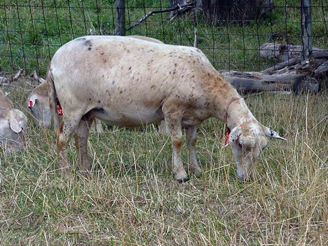 A Katahdin sheep