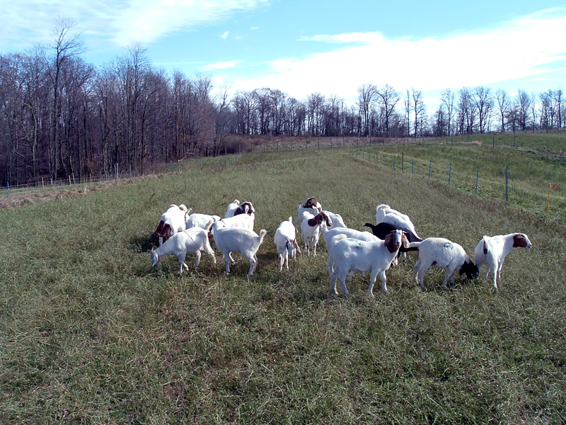 Goats in a sunny field
