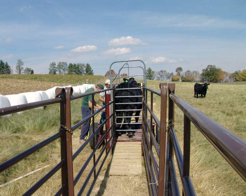 Employees weighing cattle