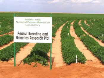 Peanut breeding and genetics research plot at Breedloves Farms in Dawson, GA