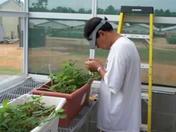 Greenhouse pollination of peanut plant