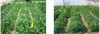 50 day Control with 100% and 50% irrigation, respectively