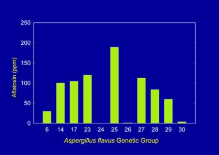 Chart of aflatoxin production by different genetic groups