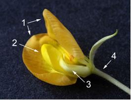 Peanut flower
