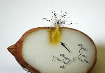 Peanut kernel infected by fungus showing phytoalexin production