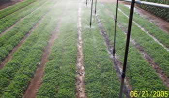 Peanut irrigation