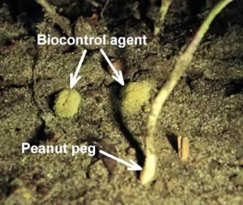 Biocontrol agent under peanut plant