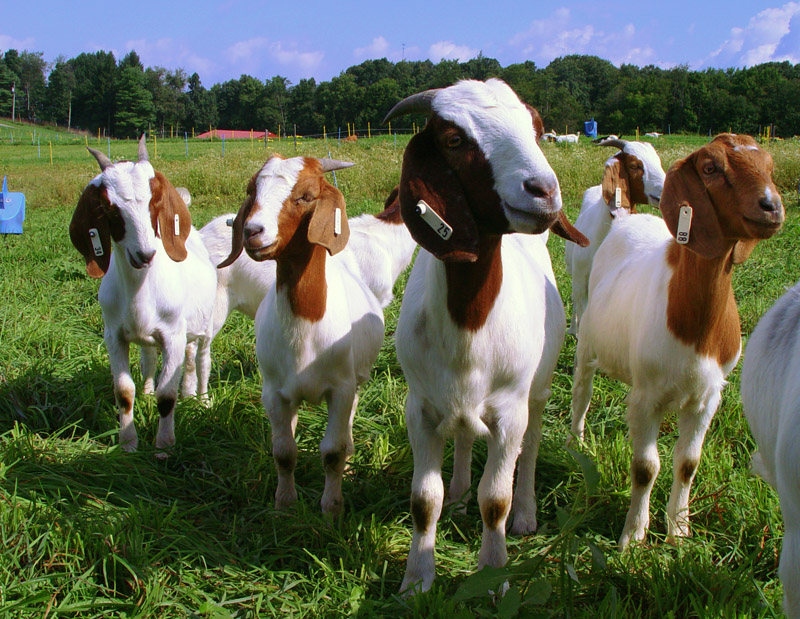 A group of goats