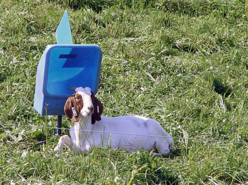 Goat lying in shade