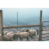 Thumbnail of sheep in icy pasture