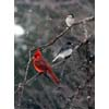 Thumbnail of cardinal, junco & chickadee