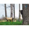 Thumbnail of sheep peering from behind a tree