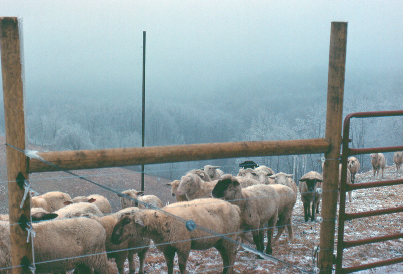 Sheep on an icy hillside