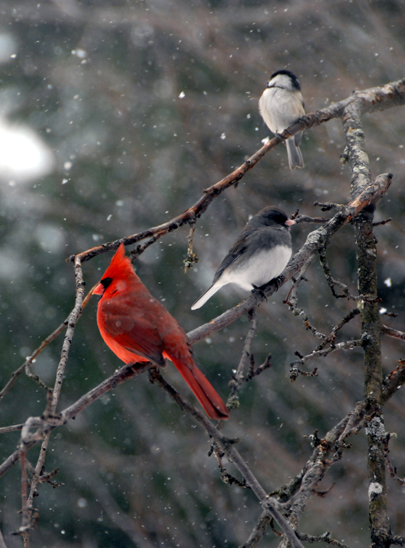 Cardinal, Junco & Chickadee