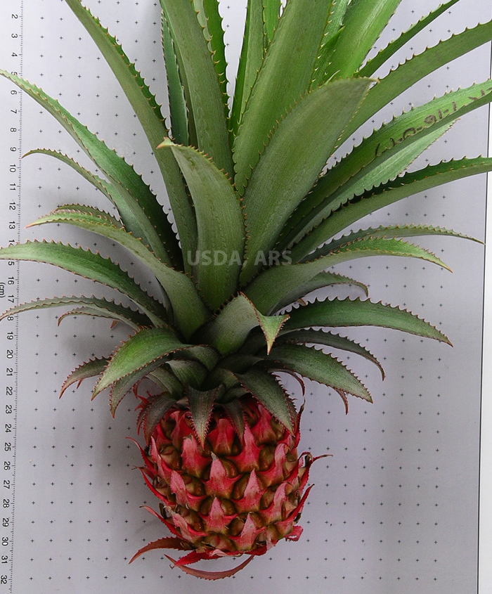 Ananas comosus var. bracteatus fruit and crown